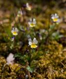 Åkerviol (Viola arvensis)