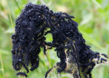Påfågelöga (Inachis io)