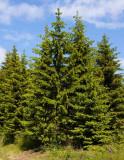 Gran (Picea abies)