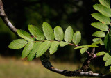 Rönn (Sorbus aucuparia)