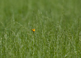 Rödgul höfjäril (Colias croceus)