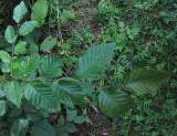 Avenbok (Carpinus betulus)