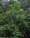 Virginiahägg (Prunus virginiana)