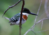 Green Kingfisher (Chloroceryle americana )