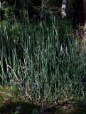 Skavfräken (Equisetum hyemale)