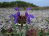 Praktbrunört (Prunella grandiflora)