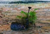Örtaggsvamp (Auriscalpium vulgare)