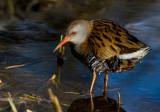 Water Rail (Rallus aquaticus)