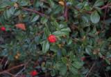 Skogholmsoxbär (Cotoneaster × suecicus)