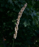 Jätteslok (Melica altissima)