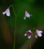 Linnea (Linnaea borealis)