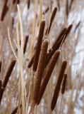 Smalkaveldun (Typha angustifolia)