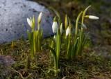 Snödroppe (Galanthus nivalis)