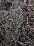 Bågsvingel (Festuca rubra ssp. oelandica)