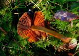 Rödskivig kanelspindling (Cortinarius semisanguineus )