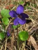 Luktviol (Viola odorata)