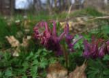 Stor nunneört (Corydalis solida ssp. solida)