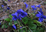 Buskviol (Viola hirta)