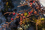 Lingonoxbär (Cotoneaster horizontalis)
