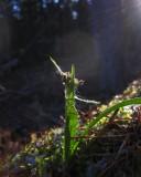 Vårfryle (Luzula pilosa)