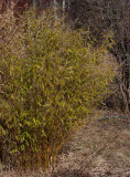 Bergbambu (Fargesia murieliae)