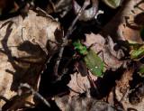 Grön sandjägare (Cicindela campestris)