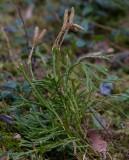 Plattlummer (Diphasiastrum complanatum)