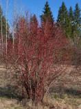 Rysk kornell (Cornus alba ssp. alba)