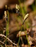 Lundstarr (Carex montana)
