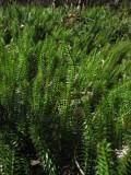 Revlummer (Lycopodium annotinum)