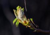 Hästkastanj (Aesculus hippocastanum)