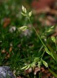 Vitgröe (Poa annua)