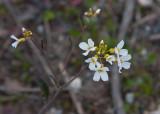 Grustrav (Arabidopsis suecica)