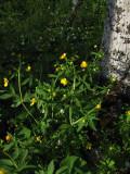 Lundsmörblomma (Ranunculus cassubicus)