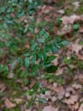 Eldtorn (Pyracantha coccinea)