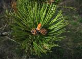 Fransk bergtall (Pinus mugo ssp. uncinata)
