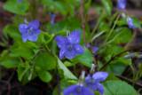 Lundviol (Viola reichenbachiana)