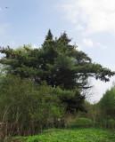 Weymouthtall (Pinus strobus)