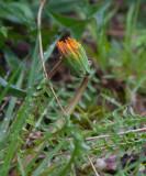 Pysslingmaskros (Taraxacum platyglossum)