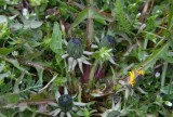 Uddmaskros (Taraxacum tumentilobum)