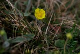 Backfingerört (Potentilla sterneri)