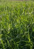 Kvickrot (Elymus repens ssp. repens)