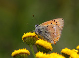 Vitfläckig guldvinge (Lycaena virgaureae)