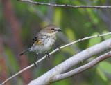 Yellow-rumped Warbler (Dendroica coronata ssp coronata)