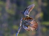 Cuckoos (Cuculus canorus)