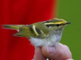 Pallas´s Leaf Warbler (Phylloscopus proregulus)