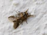 Blåhuva (Diloba caeruleocephala)
