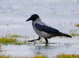 Hooded Crow (Corvus corone)