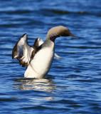 Black-throated Diver (Gavia arctica)