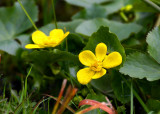 Kabbleka (Caltha palustris)